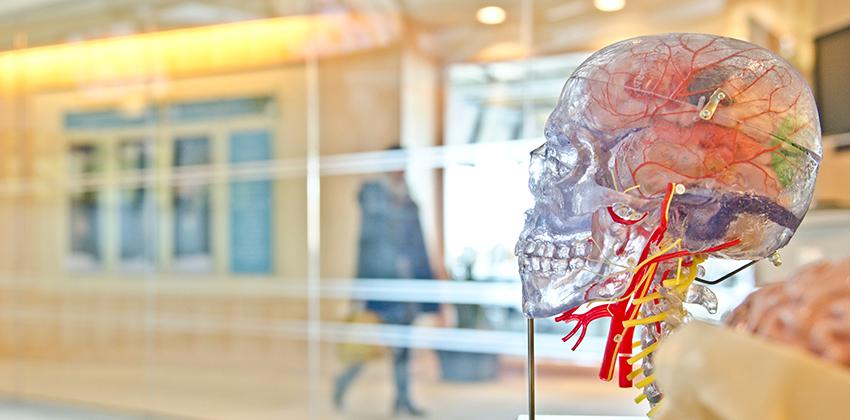 Model of skull and brain